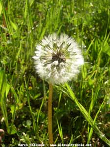 Tarassaco (Taraxacum officinale)